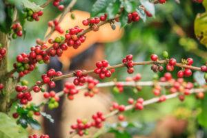 Zweig einer Kaffeepflanze mit roten Kaffeefrüchten.