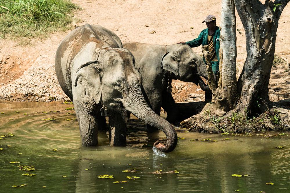 Zwei badende Elefanten mit einem Guide.