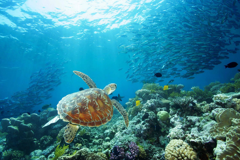 Schildkröte schwimmt im Great Barrier Reef mit farbigen Fischen, Korallen und grossen Fischschwärmen