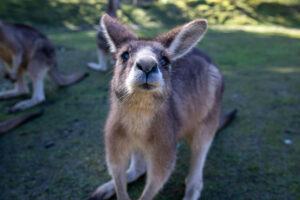 Känguru, das neugierig in die Kamera schaut