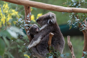 Mutter-Koala mit Baby-Koala sitzen im Eukalyptusbaum