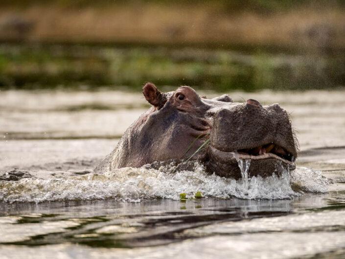 Nilpferd reckt Kopf aus dem Fluss