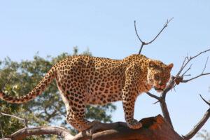 Leopard steht auf Ast und blickt hinunter